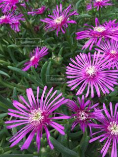 紫の花の写真・画像素材[1231401]