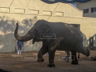 象の調教の写真・画像素材[1606132]