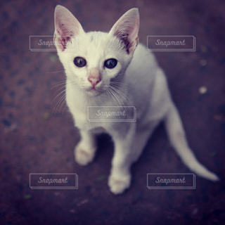 白い仔猫の写真・画像素材[1214216]