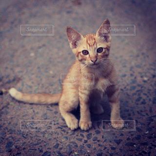 茶トラの仔猫の写真・画像素材[1214218]