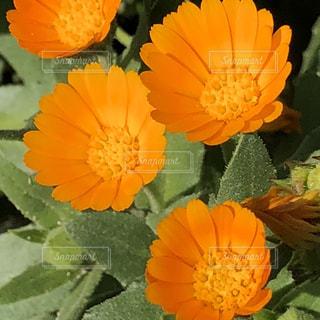 ビタミンカラーなオレンジの花の写真・画像素材[1215588]