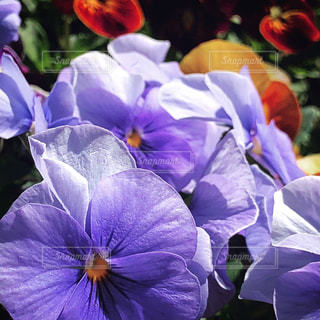 紫の花のグループの写真・画像素材[1215589]