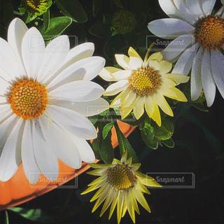 黄色と白の花をプランターにの写真・画像素材[1215590]