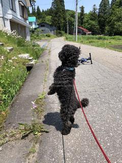 赤いひもを身に着けている犬の散歩の写真・画像素材[1215807]
