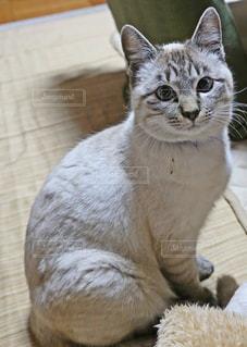お利口さんに座る猫の写真・画像素材[1215944]