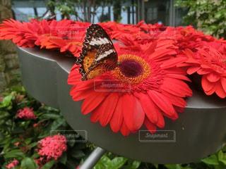 赤い花に乗る蝶々の写真・画像素材[1216186]