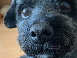 ドアップ顔の犬の写真・画像素材[2082726]