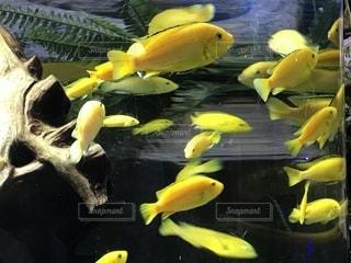 池の上に座っている黄色のバナナの写真・画像素材[1257867]