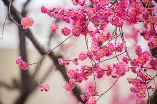 梅の花の写真・画像素材[1224489]