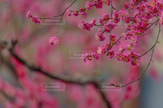 梅の花の写真・画像素材[1224491]