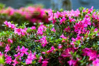 ツツジの花の写真・画像素材[1224918]
