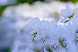 白いツツジの花の写真・画像素材[1224921]