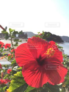 真っ赤なハイビスカス。の写真・画像素材[1224112]