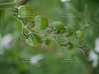 未熟なトマトの写真・画像素材[1223940]