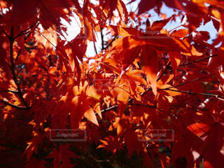 紅葉から透ける光の写真・画像素材[1225562]
