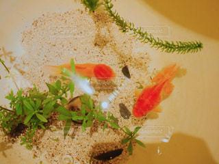 台北のお茶屋さんにいた金魚の写真・画像素材[1237737]