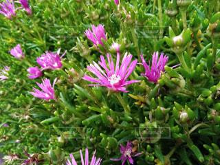 紫の花のアップの写真・画像素材[1237757]