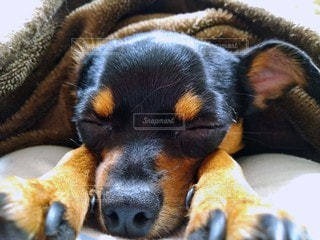 眠る(寝る)犬の写真・画像素材[2667151]