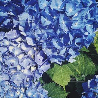 紫陽花の写真・画像素材[1229412]