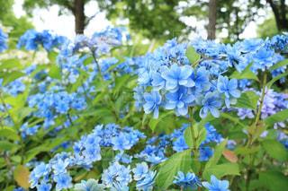 青いあじさいの写真・画像素材[1265318]