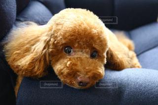 カメラを見ている小さな犬の写真・画像素材[2137157]