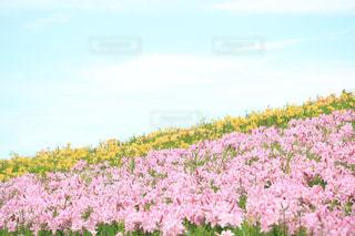 野原のピンクの花の写真・画像素材[2137185]