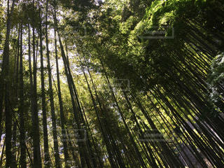 竹林の木漏れ日の写真・画像素材[1224163]