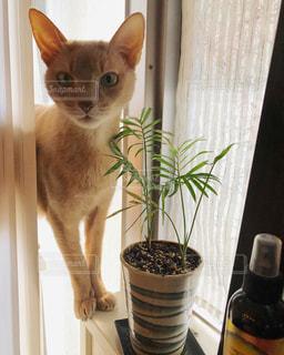 ブラインドからひょっこり猫の写真・画像素材[1706551]