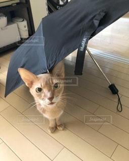 傘からひょっこり猫の写真・画像素材[2767416]