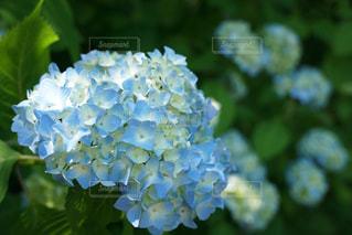 ある日の紫陽花の写真・画像素材[1223772]