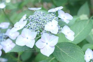 紫陽花の写真・画像素材[1223774]