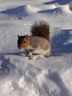 雪とリスの写真・画像素材[1225636]