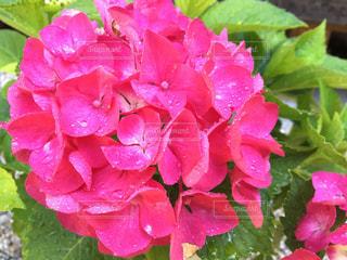 紫陽花の写真・画像素材[1229690]