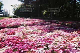 花畑の写真・画像素材[1229698]