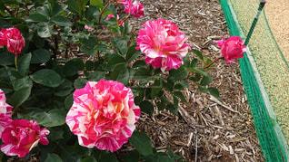 植物にピンクの花の写真・画像素材[1224364]