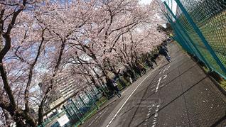 出勤前の桜並木の写真・画像素材[1225339]