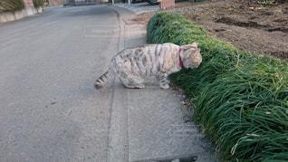 道端に現れた猫の写真・画像素材[1236438]