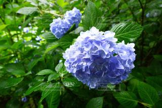 紫陽花の写真・画像素材[1229035]