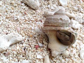 貝殻に籠るヤドカリの写真・画像素材[1225927]