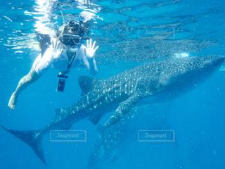 ジンベイザメと泳いでいる人の写真・画像素材[1226564]
