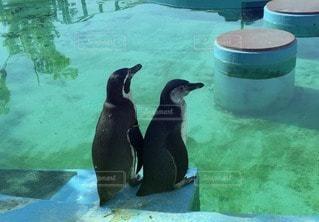 ペンギンの写真・画像素材[39920]