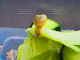 食事中のカタツムリ3の写真・画像素材[1224942]