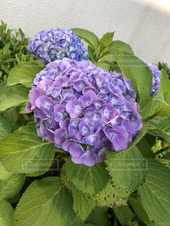 近くの植物に紫の花のアップの写真・画像素材[1233136]