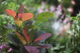 スモークツリーの銅葉の写真・画像素材[1231008]