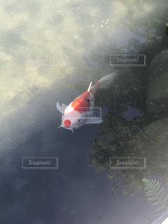 錦鯉の写真・画像素材[1761794]