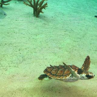 水の下で泳ぐ海亀の写真・画像素材[1325891]