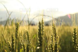 近くの麦の写真・画像素材[1226526]