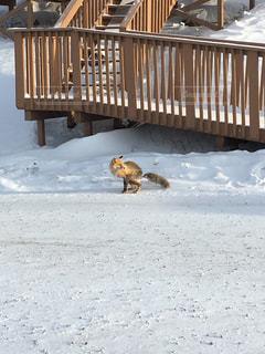 雪の中の狐の写真・画像素材[1226873]