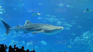 ジンベイザメの写真・画像素材[1229523]
