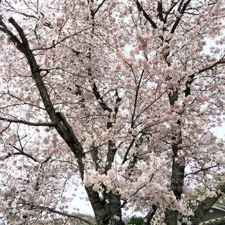 桜の木の下での写真・画像素材[1227149]